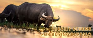 Telangana Government Offers Subsidy to Farmers for Buying Buffalo