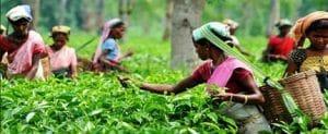 Assam Wage Compensation Scheme Pregnant Tea Growers