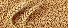 Rajasthan Wheat BPL People Poor
