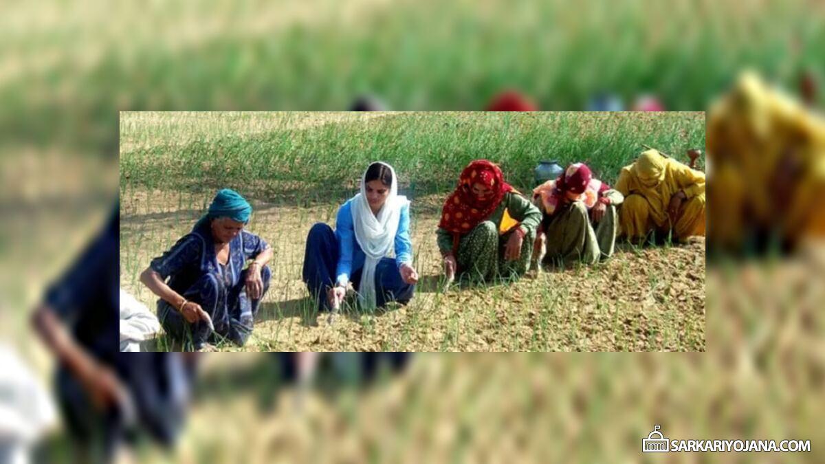 New Wheat Variety Haryana Punjab